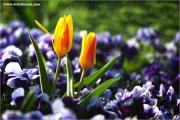 m3_114730_tulpe_fb.jpg