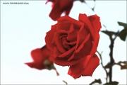 m3_114907_rose_fb.jpg