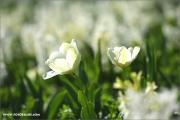 m3_115391_tulpe_fb.jpg