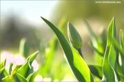 m3_115458_tulpe_fb.jpg