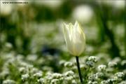 m3_116149_tulpe_fb.jpg