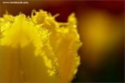 m3_116164_tulpe_fb.jpg