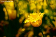 m3_116202_tulpe_fb.jpg