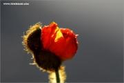 m3_119454_mohn_fb.jpg