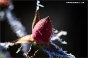 m3_121270_rose_fb.jpg
