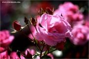 m3_123302_rose_fb.jpg