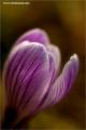 m3_128518_krokus_fb.jpg