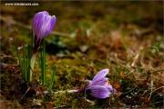 m3_128522_krokus_fb.jpg