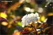 m3_129879_hortensie_fb.jpg