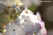 m3_129905_hortensie_fb.jpg