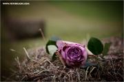 m3_131342_rose_fb.jpg