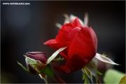 m3_131550_rose_fb.jpg
