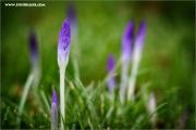 m3_132881_krokus_fb.jpg