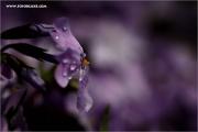 m3_137351_phlox_fb.jpg