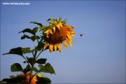 m3_139114_sonnenblume_fb.jpg