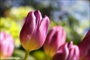m3_144458_tulpe_fb.jpg