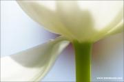 m3_814021_tulpe_fb.jpg