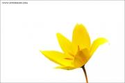 m3_816043_tulpe_fb.jpg