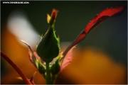 m3_820048_rose_fb.jpg