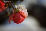 m3_841077_rose_fb.jpg