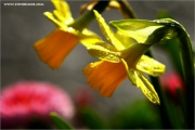 m3_916270_narzisse_fb.jpg