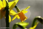 m3_916301_narzisse_fb.jpg