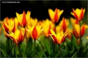 m3_920164_tulpe_fb.jpg