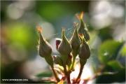 m3_924535_rose_fb.jpg