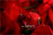 m3_928961_rose_fb.jpg