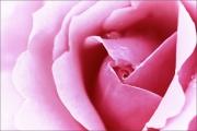m3_929003_rose_fb.jpg