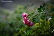 m3_936544_rose_fb.jpg