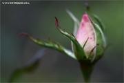m3_939511_rose_fb.jpg