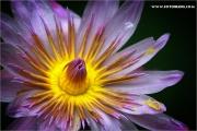 m3_941297_seerose_fb.jpg