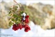 m3_941599_rose_fb.jpg