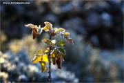 m3_941769_rose_fb.jpg
