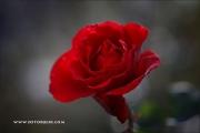 m5_160846_rose_fb