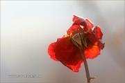 m5_162221_rose_fb