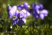 m5_175559_viola_fb