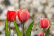 m5_176640_tulpe_fb
