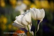 m5_177657_tulpe_fb - Kopie