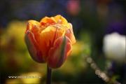 m5_177668_tulpe_fb