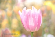 m5_177698_tulpe_fb
