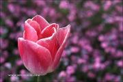 m5_177731_tulpe_fb - Kopie