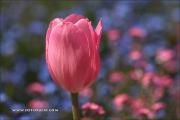 m5_178584_tulpe_fb - Kopie
