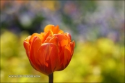 m5_178864_tulpe_fb
