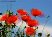 mohn_im_wind_03_fb.jpg
