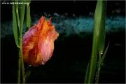 p5_920008_tulpe_fb.jpg