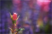 m3_823004_rose_fb.jpg