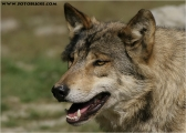 c20_549900_wolf_fb.jpg