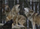 c20_631479_wolf_fb.jpg